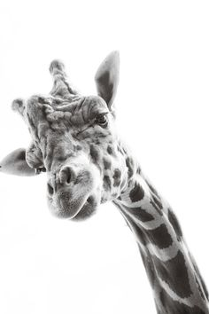 happy giraffe 8x10 black and white photograph by dreadsky on Etsy, $ 25.00