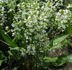 Horseradish it is perennial so plant where it won't be disturbed and dig a little each year for use