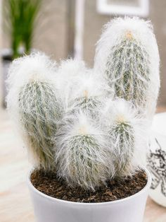 Espostoa lanata (Peruvian Old Man Cactus) is a columnar, densely hairy cactus, covered by a warm woolly coat and well adapted to high...