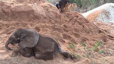 Att bli avvisad från sin flock är det värsta en elefant kan uppleva. Det var just det som hände med lilla Ellie. Den lilla ...