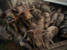 A virtual tour of a slaughterhouse. Photograph: pigs gather in a sty at the Sierra de las Villuercas processing plant in October near Deleitosa, Spain. If you eat meat, you owe it to the animals to watch how they get to your plate. Go vegan.