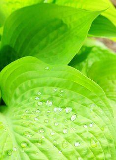 #ADVOCATE1612 #green Large Light Green Hostas