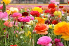 Ranunculus flowers look too delicate to be real, but you can grow these bulbs for the spring vase.