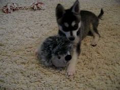 Alaskan Klee Kai: Super-Cute Mini Husky Puppies! Part 2