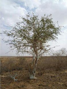 Boscia Angustifolia          Rough-leaved Shepherds Tree       Skurweblaarwitgat              8 m         S A no 122,1
