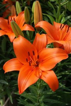 Asiatic Lilies are very popular fresh cut flowers - they work beautifully in bouquets, centerpieces, and other wedding flowers, and come in a variety of eye-catching colors. Shop Asiatic Lilies year-round at GrowersBox.com.