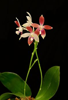 Orchid: Phalaenopsis tetraspis - Flickr - Photo Sharing!