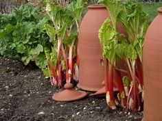 rhubarb forcer