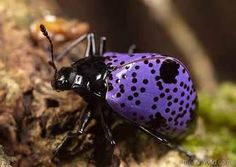"Purple bug, purple bug!! Because he has been so popular, I am naming him (or her) ""Popsicle"". What a popular little being! Beautiful lavender-purple beetle. Repinned 449X's since I pinned it not too long ago! (beautiful insects - Bing Images)"