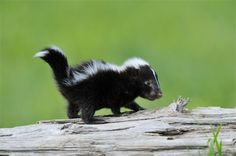 baby skunk- I love skunks & they can be great pets. If your wondering if pet skunks are all b&w nope chocolate, white, albino, silver, etc. the colors by responsible breeders are way more than black & white.