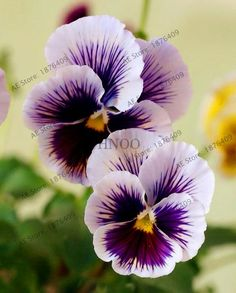 "100pcs/Bag Pansy ""Avalanche Bronze Lavender ""Flower Seeds hanging garden perennial & biennial plants home and garden"