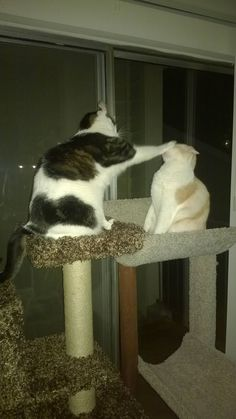 Bought a couple cat trees with my tax return. Competition for the top perch has been fierce.   http://ift.tt/20vZSF0 via /r/cats http://ift.tt/211UOKx  cats funny pictures