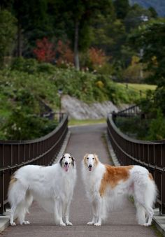Two Borzoi dogs Big Dogs, Cute Dogs, Dogs And Puppies, Borzoi Dog, Whippet, Beautiful Dogs, Animals Beautiful, Animals And Pets, Cute Animals