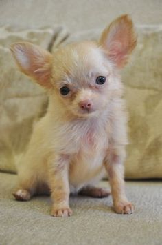 I'd only get a chihuahua if it looked just like this :)
