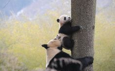 The giant panda, long a symbol of the conservation movement, is no longer listed as endangered, according to the International Union for Conservation of Nature.