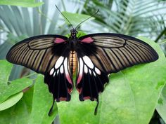 Papilio Memnon Great Mormon butterfly  Range: Malay, Indonesia and Australia Host plant: citrus trees