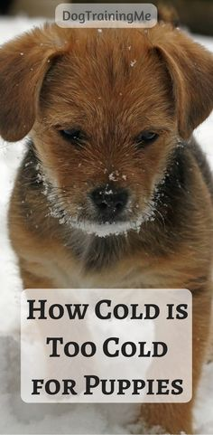 How cold is too cold for puppies? It is important in cold weather to keep your puppy warm and watch for signs of cold-related health conditions. Know when to go out and when to stay in and how to keep your pup safe from the cold. Read our article with all the details now. #puppies #doghealth #howcoldistoocoldforpuppies