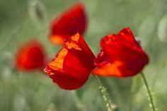 poppy fields - Pesquisa Google
