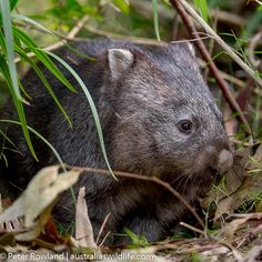 The Common Wombat sleeps during the day in underground burrows and feeds on native grasses and roots.
