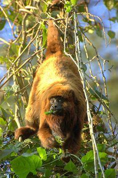 Brown Howler Monkey. Photo:Dario Sanches