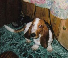 Basset artesien normand photo | Basset Artésien Normand | Dog Pictures, Photos & Images from Funny ... Cute Dog Pictures, Dog Photos, Cute Puppies, Cute Dogs, Basset Artesien Normand, Dog Comics, Dog Jokes, Photo Images, Funny Dogs