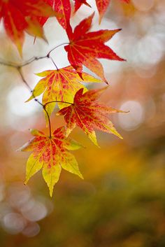 Autumn still life ... Japanese Maple leaves