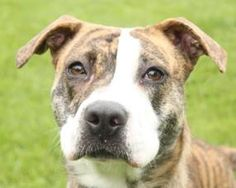 Wayside Waifs Fancy  Animal ID27884963  SpeciesDog  BreedTerrier, Pit Bull, Mix  Age1 years 6 months  SexFemale  SizeM  Colorundefined  Spayed/NeuteredYes  Price130.00  HousetrainedUnknown