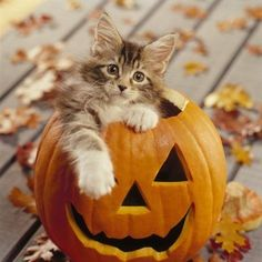 Un Maine Coon dans une citrouille d'Halloween Cute Kittens, Cats And Kittens, Crazy Cat Lady, Crazy Cats, Chat Halloween, Halloween Horror, Halloween Costumes, Funny Halloween, Halloween Pictures