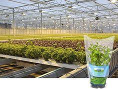 Munt, een functioneel kruid........ Anti-muggenplanten voor de tuin  Een aantal planten kunnen in je tuin zeker helpen tegen de muggen:  •citroengeranium (Pelargonium crispum)  •citroenmelisse (Melissa officinalis)  •lavendel (Lavandula officinalis)  •pepermunt (Mentha piperita)  •eucalyptus (Eucalypus