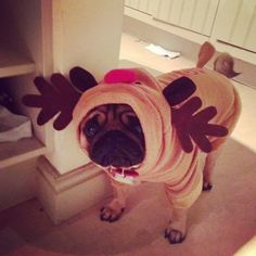 """winteriscoming1: """"That miserable moose pug"""""""