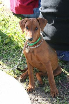 """german pinscher (""""red"""" is the color of this one)"""