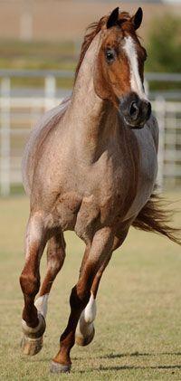 Quarter Horse stallion Peptoboonsmal