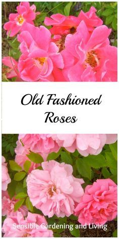 Old fashioned Roses with Sensible Gardening and Living