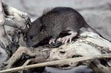 Learning About the Pest - Important Facts About Mice and Rats