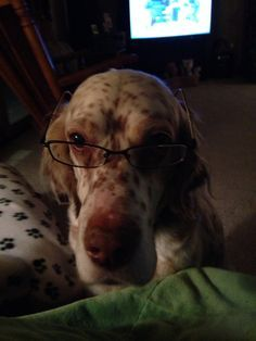 My English Setter wearing my glasses. Dog Lover Gifts, Dog Lovers, Labrador, Irish Setter, English Setters, Puppy Love, Fur Babies, Past, Puppies