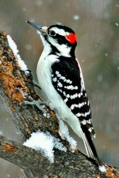 Hairy Woodpecker                    Brake's Yard                      01/04/2014