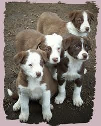 red border collie pups
