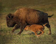 Bison Art Print featuring the photograph Learning To Run by CR Courson
