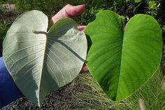 สรรพคุณและประโยชน์ของต้นใบระบาด 12 ข้อ ! (ใบละบาท)