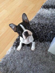 10 Weeks Old Boston Terrier named Richie from Prague, Czech Republic ► http://www.bterrier.com/?p=28596 - https://www.facebook.com/bterrierdogs