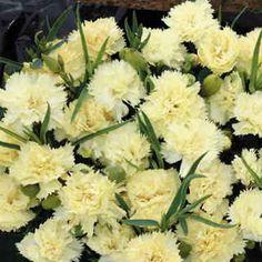 Lemon Fizz Carnation Seeds