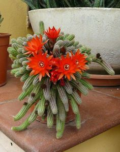 Types Of Succulents, Cacti And Succulents, Planting Succulents, Planting Flowers, Exotic Flowers, Tropical Flowers, Beautiful Flowers, Cactus Plante, Pot Plante
