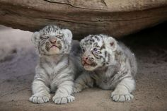 Newborn white Siberian tiger cubs are presented to the media at San Jorge zoo in Ciudad Juarez - Jose Luis Gonzalez/Reuters