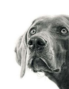 Animal Art Adventures: June 2011 Amazing Drawings, Realistic Pencil Drawings, Animal Drawings, Art Drawings, Dog Art, Weimaraner, Vizsla, Graphite Art, Graphite Drawings