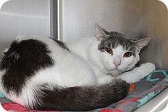 Medina, OH - Domestic Shorthair. Meet Bruno, a cat for adoption. http://www.adoptapet.com/pet/13059314-medina-ohio-cat
