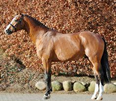 Holsteiner sport horse stallion, Cascadello.