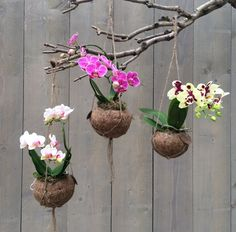 kokedama orchid es kokedamascolgantes suculentas pinterest plantas c mo hacer y suculentas. Black Bedroom Furniture Sets. Home Design Ideas