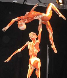 Body Worlds exhibition. Went to it in Denver. Sooo neat!!