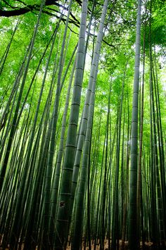 bamboo forrest :)