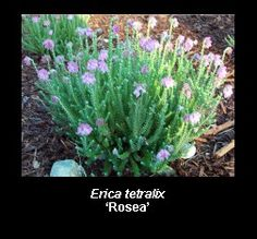 """Lilac pink flowers, July-September, with light flower although the flower color is rather muddy. A very old cultivar dating back over 180 years. Habit 10"""" tall x 16"""" wide. Erica tetralixor Cross-leaved Heath varieties are beautiful foliage accent plants with an almost formal appearance. They are native to western Europe from the Arctic Circle to northern Spain. They have soft grayish-green foliage with white undersides. Plants seldom grow taller than 12"""" and blossoms have a waxy textur"""